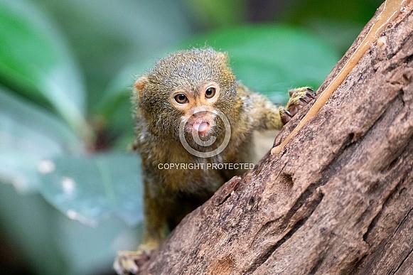 Pygmee tamarin