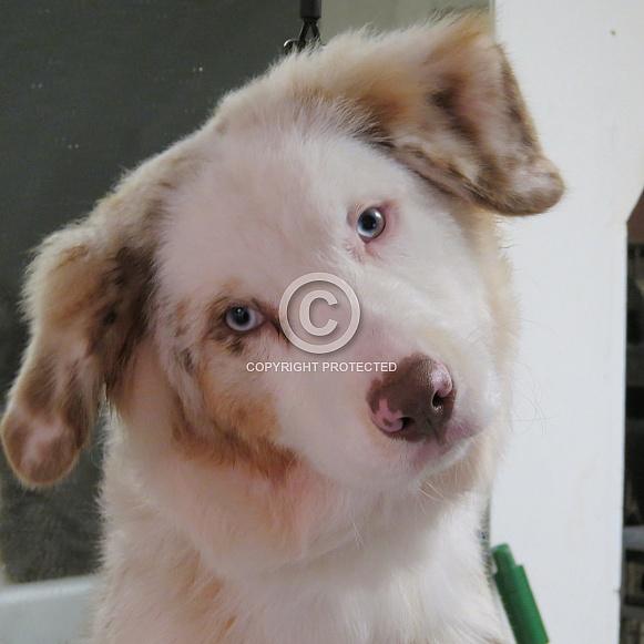 Rocky - Australian Shepherd Dog