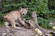 Siberian Lynx Kitten