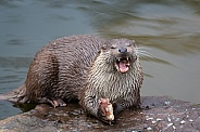 old world otter eating a fish