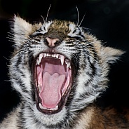 Tiger Cub - 9 Weeks Old