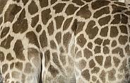 Kordofan Giraffe Pattern