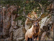 Bull Elk on Rocky Ridge