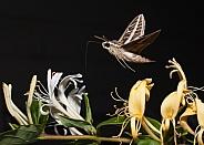 Sphingidae, Hawk moth