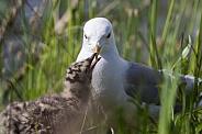 Common Mew Gull Feeding it's Chick