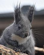japanese squirrel, winter tufts