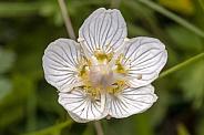 Parnassia flower