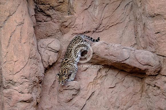 Ocelot Descending
