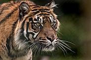 Sumatran Tiger Focused And Stalking
