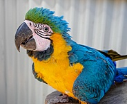 Blue and gold Macaw Portrait