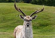 Male Persian fallow Deer