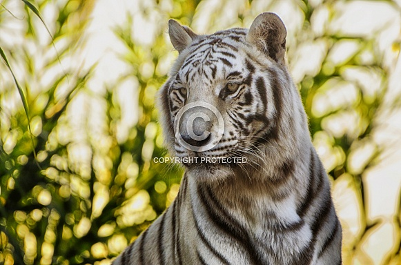 Tiger - White Tiger Portrait