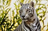Tiger - White Tiger Portrait