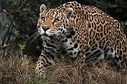 Female Jaguar (Panthera Onca)