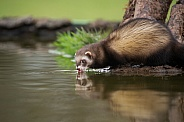 Female European Polecat Drinking