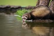 Female European Polecat Drinking