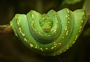 Green three python
