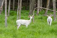 Albino White-tailed Deer