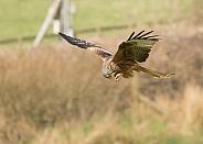 Red Kite Feeding in Flight