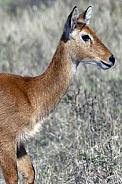Puku antelope (Kobus vardonii) - Botswana