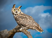 Great Horned Owl on Branch with Clouds