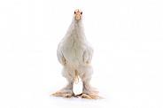 Cochin Chicken