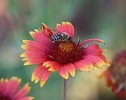Honey Bee on Fireweel Flower