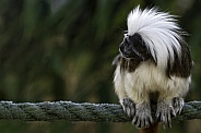 Cotton Topped Tamarin Side Profile Sitting On A Rope