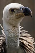 Close up Griffon Vulture