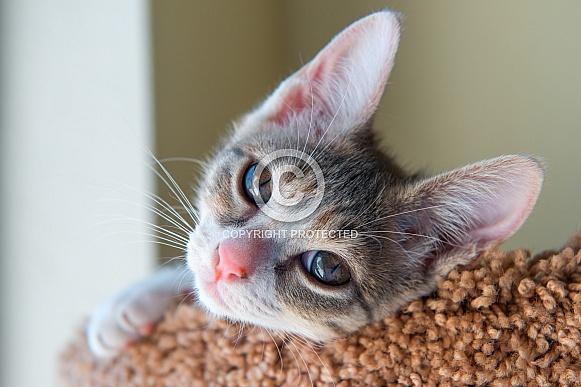 A kitten in a window
