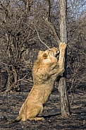 African Lion (Male)