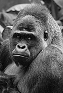 Silverback Gorilla Black and white