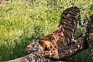 Bengal Tiger Sharpening Claws On Log