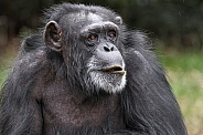 Chimpanzee Close Up Face Shot