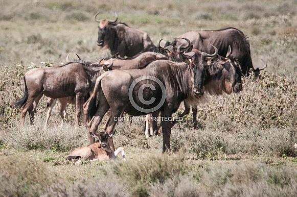 Wildebeest and newborn calf