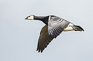 The barnacle goose (Branta leucopsis)