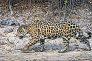 Jaguar in the Wild