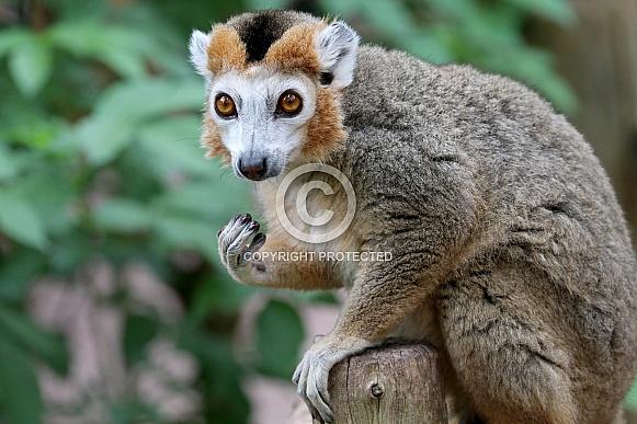 Crowned lemur (Eulemur coronatus)