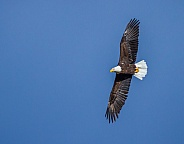 Bald Eagle in Sky
