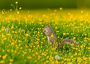 Grey Squirrel in Buttercups