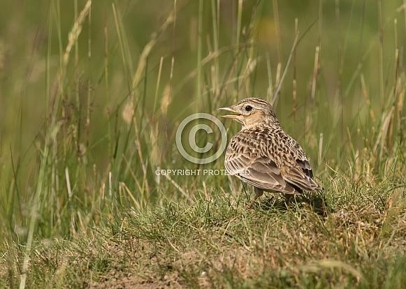 Skylark on the Ground