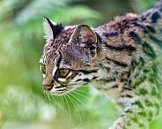 Oncilla Cat