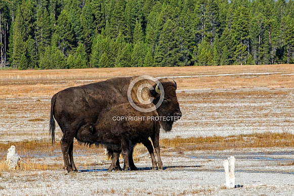 Mother Bison nursing her Calf