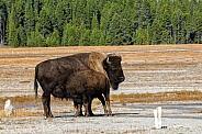 Mother Bison nursing her Calf