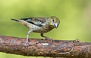 The hawfinch male feeding