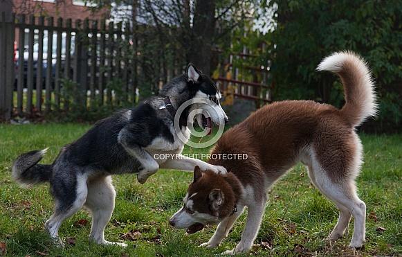Huskies playing
