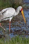 Yellow-billed Stork - Botswana