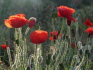Poppies in the sunlight