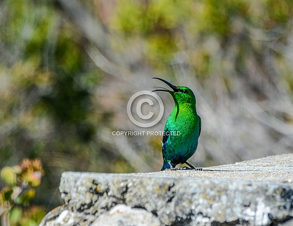 Malachite Sunbird singing