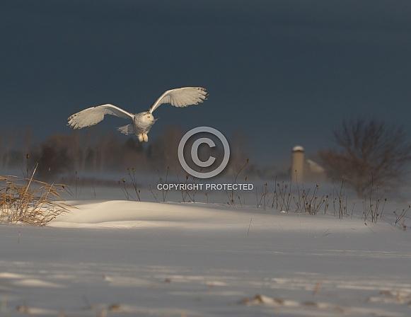 Female Snowy Owl in the Glowing Light